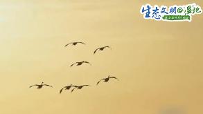 【生态文明@湿地】人与天鹅和谐共生 三门峡打造湿地自然生态