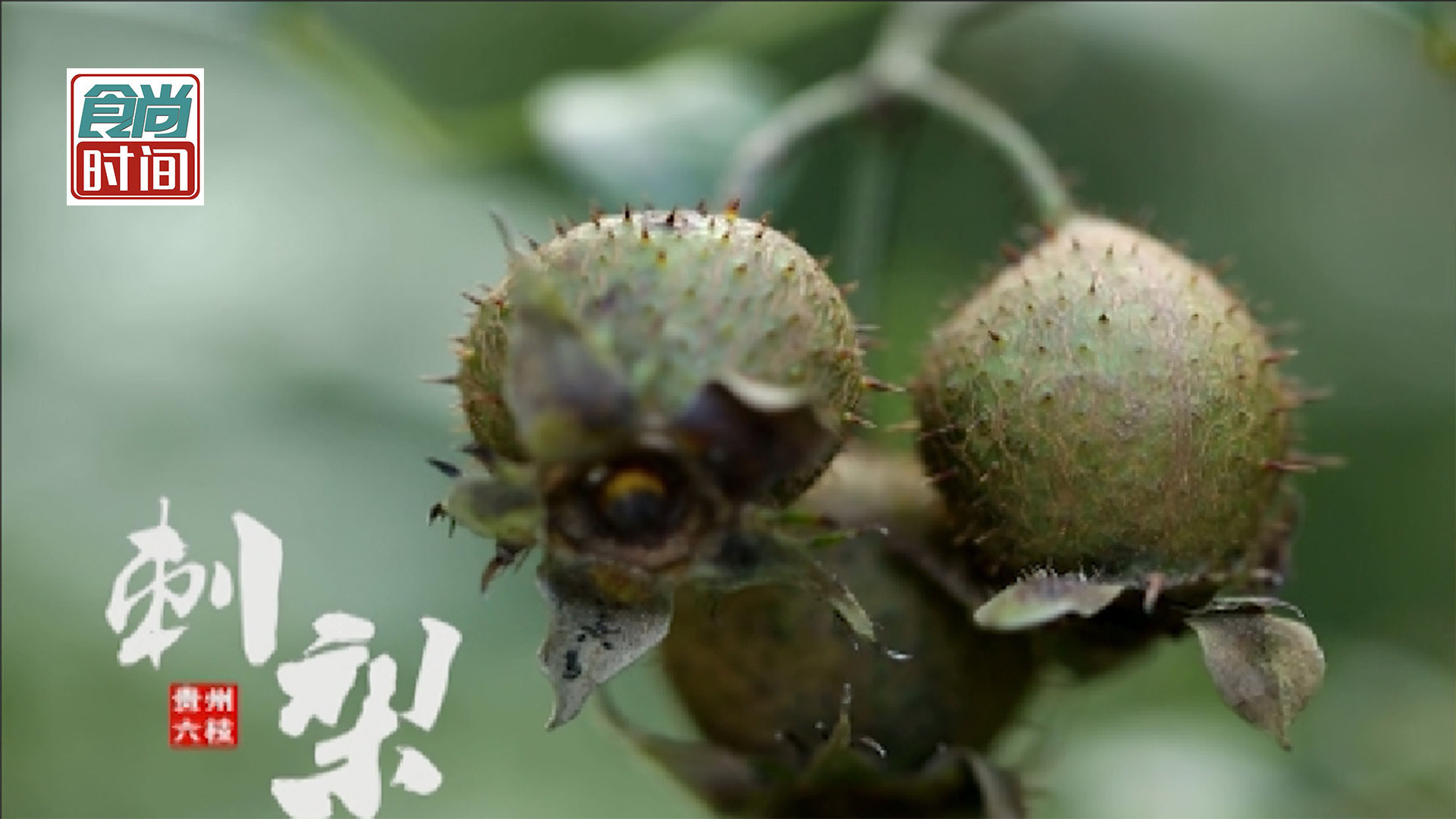 这种模样古怪的山中野果居然是维C之王?一起科普贵州特产 ——刺梨