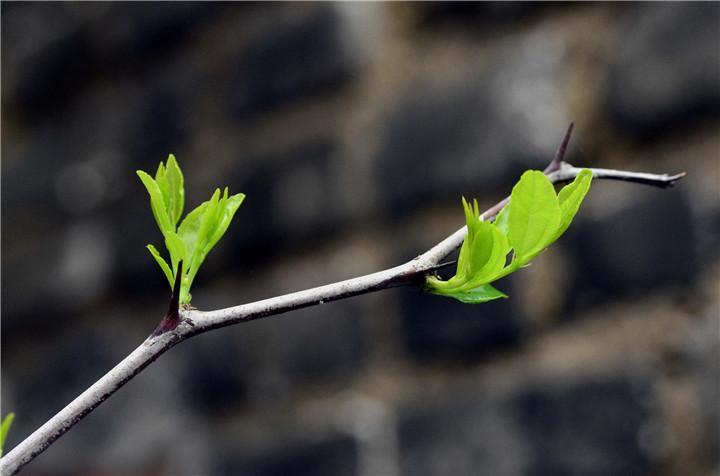什么树春天发芽