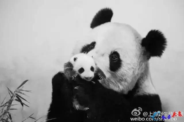 10年养死5只熊猫 上海野生动物园到底有没有能力?