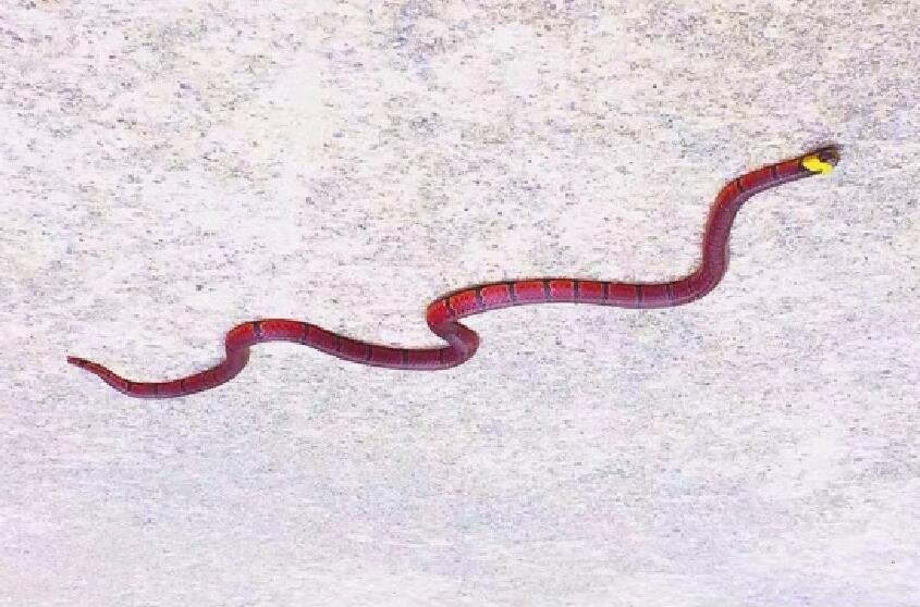 云南盘山公路现罕见蛇,全身通红头带金黄色泽