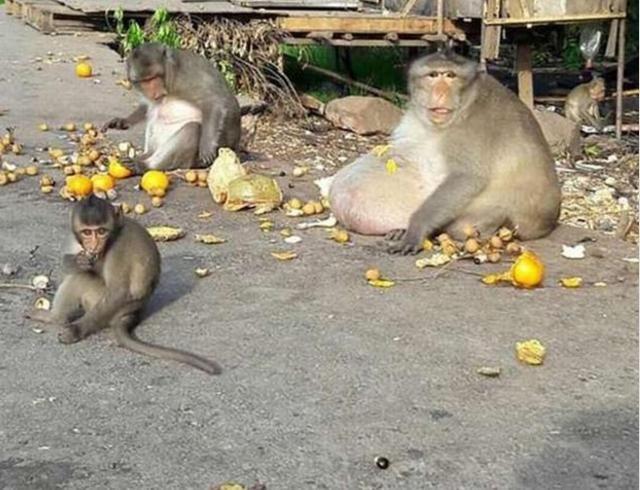 游客给动物园猴子喂食,硬生生从大师兄变成了二师兄