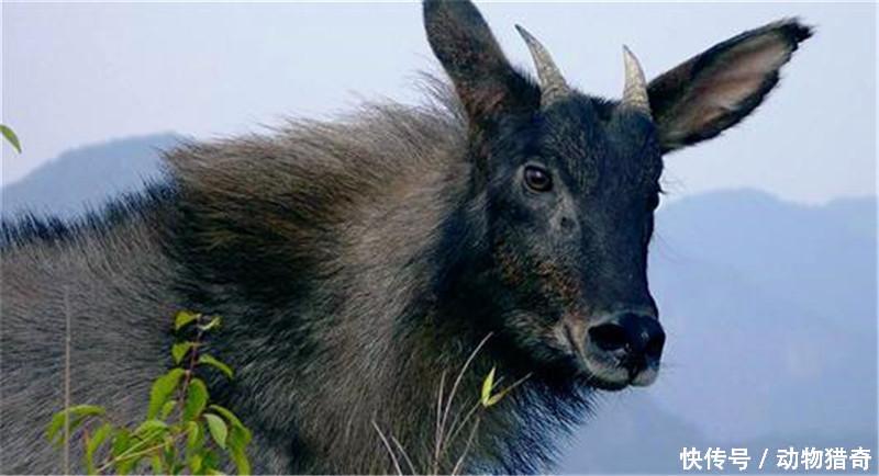 """地区的典型动物之一,角像鹿,蹄像牛,头像羊,尾像驴,被称为""""四不像""""."""