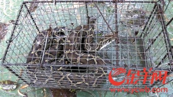 大蟒蛇夜闯养蜂场 森林消防人员将其送归深山-北京时间