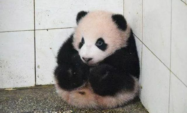 熊猫宝宝受委屈把自己缩成饭团,熊猫:作为国宝,没点演技是不行
