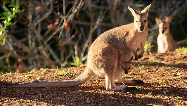 【福建】福州动物园游客扔石头砸袋鼠致1死1伤 只为看袋鼠跳