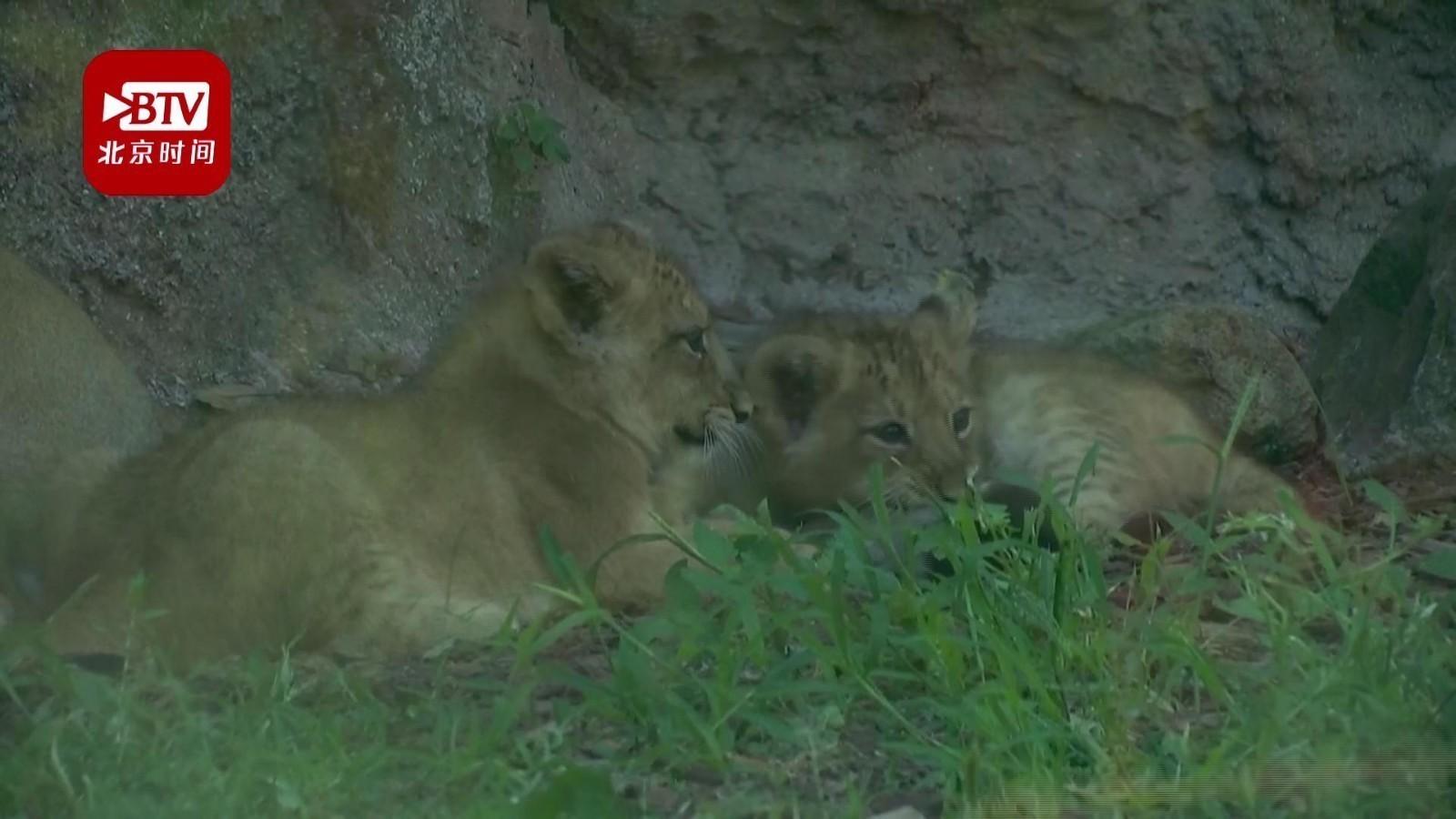 意大利双胞胎狮宝宝首次公开亮相