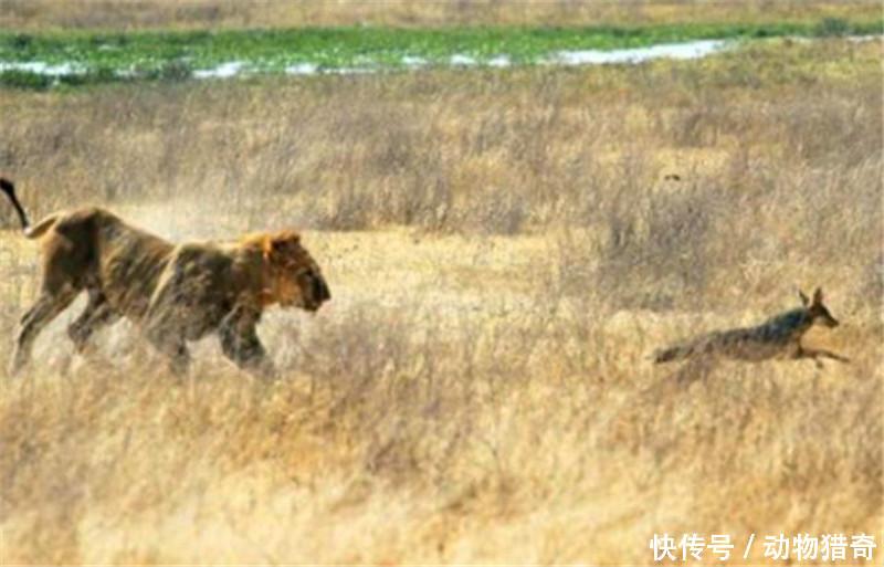 将狮子引开,胡狼以为自己就是世界上最聪明的动物.