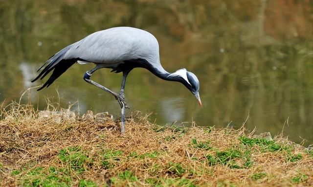 灰鹤(学名:grus grus)是大型涉禽,体长100-120厘米.