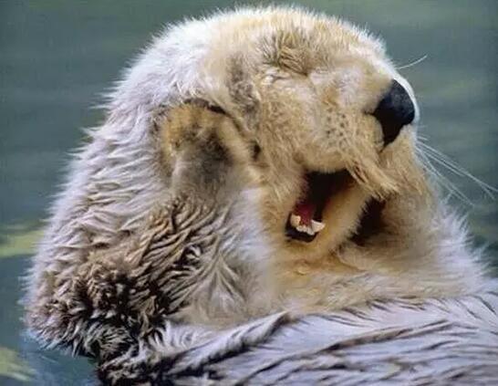 可爱的海獭随便一个表情都是标准的表情包!图片
