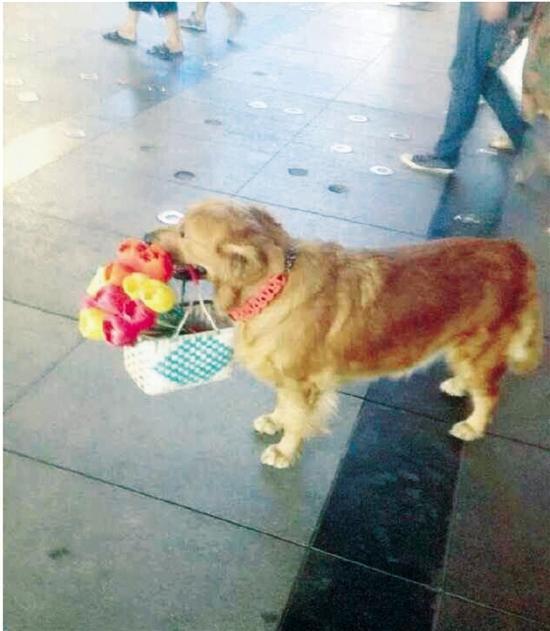 """这只金毛犬是可爱的""""送花使者"""""""
