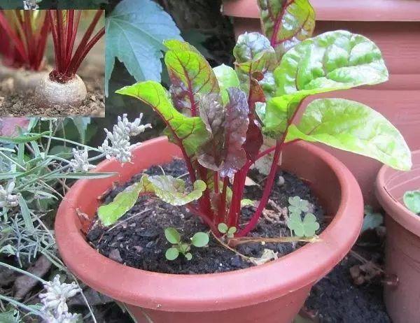 轻松在阳台上用花盆种菜,这9种盆栽蔬菜一定不能错过图片