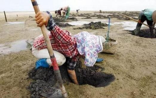 农妇泥地挖出虫子 竟月赚5千!有一种美食你一定要品尝