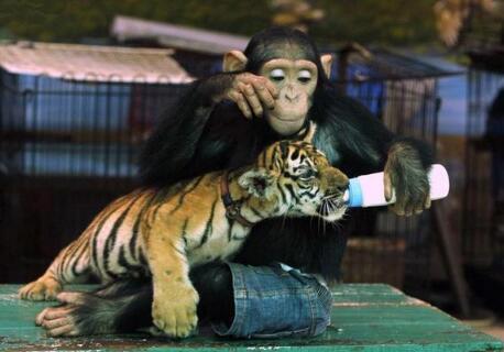 小猩猩小老虎在一起,竟会作哄小老虎开心!要成