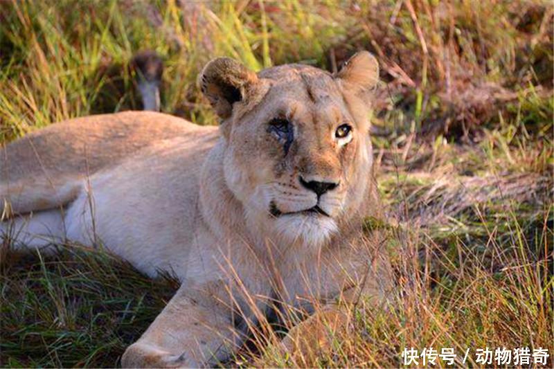 母狮独眼守着幼崽,雄狮一脸关心却不敢靠近,原因让人佩服!