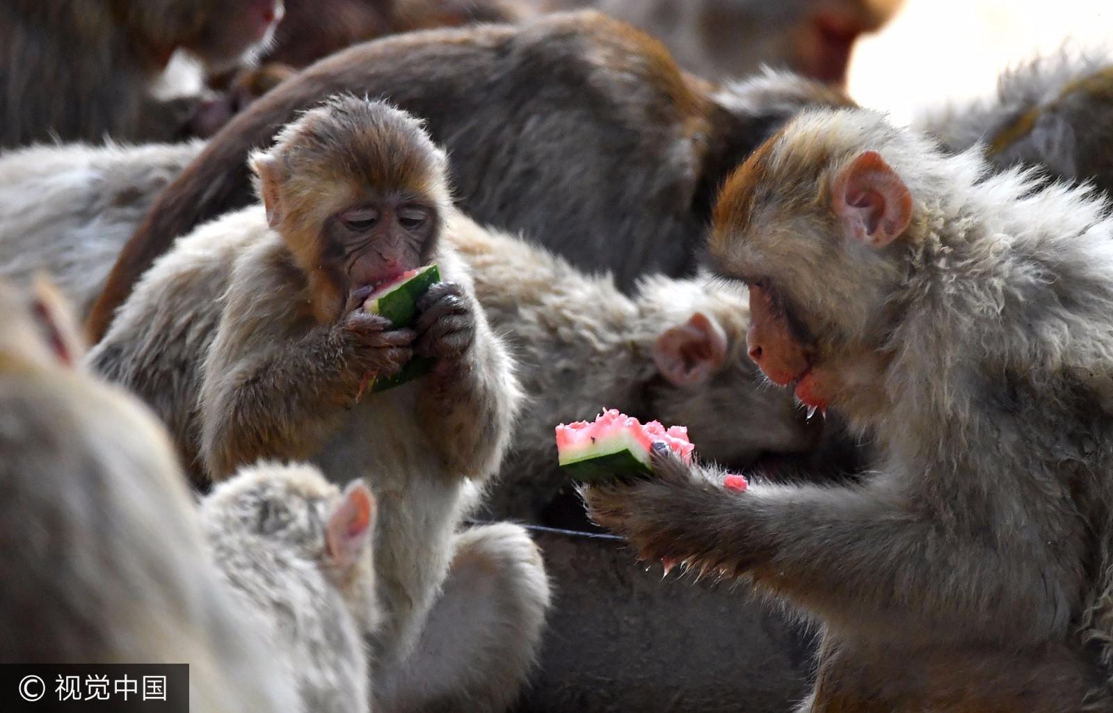 萌翻了!伏天高温来袭猴子们动物园内开水果大趴