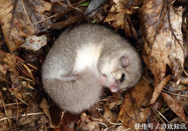 """和其他需要冬眠的动物不同,睡鼠的""""冬眠""""可不是仅仅只是在冬季"""