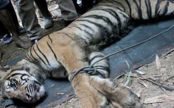 村民设下陷阱抓野猪,第二天过来一看,陷阱里面竟是只老虎!