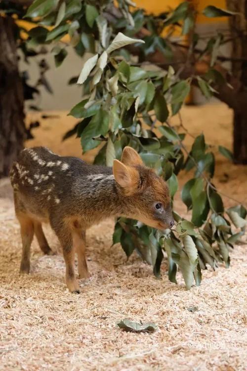 超可爱小鹿斑比!世界上最小的鹿宝宝把全日本网友都萌
