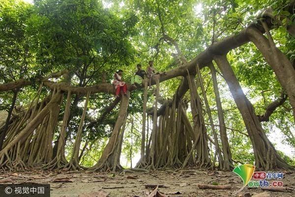 """孟加拉国500岁""""树怪""""根部似森林 成儿童嬉戏游乐园"""