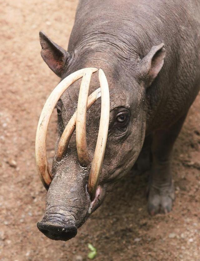 """鹿豚:世界上最为奇特的动物之一,顶配版""""二师兄"""",有4支獠牙"""
