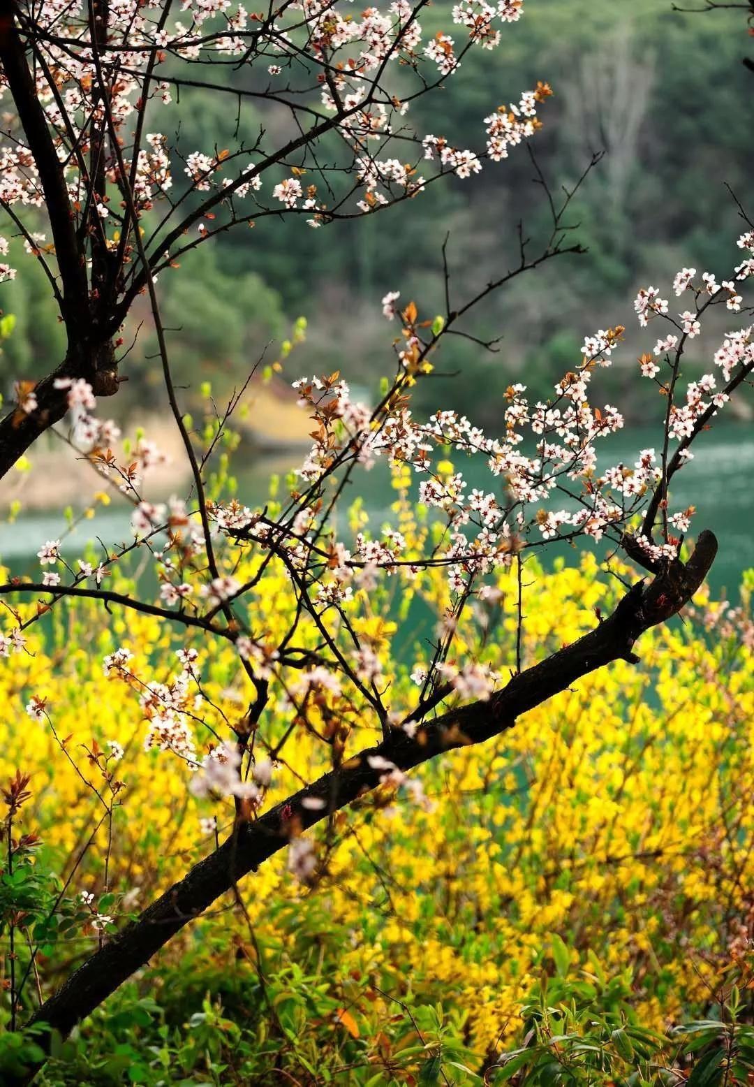 阳山万亩浪漫桃花林早春花盛开,来探寻无锡春天最浪漫