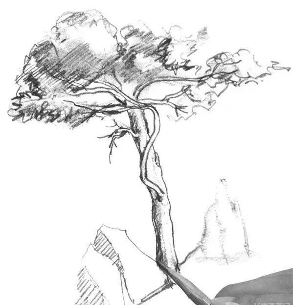 素描插画-速写松树的技法步骤教程