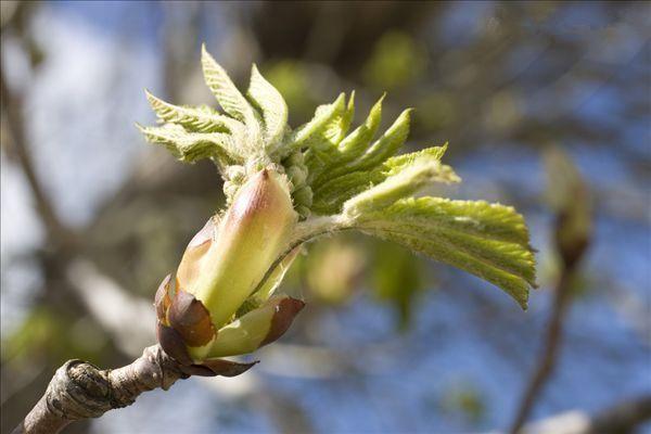 春天栗子树发芽了!