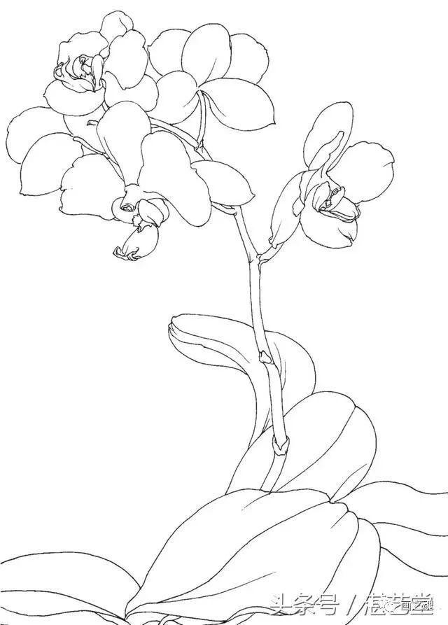 蝴蝶兰的写生画法步骤