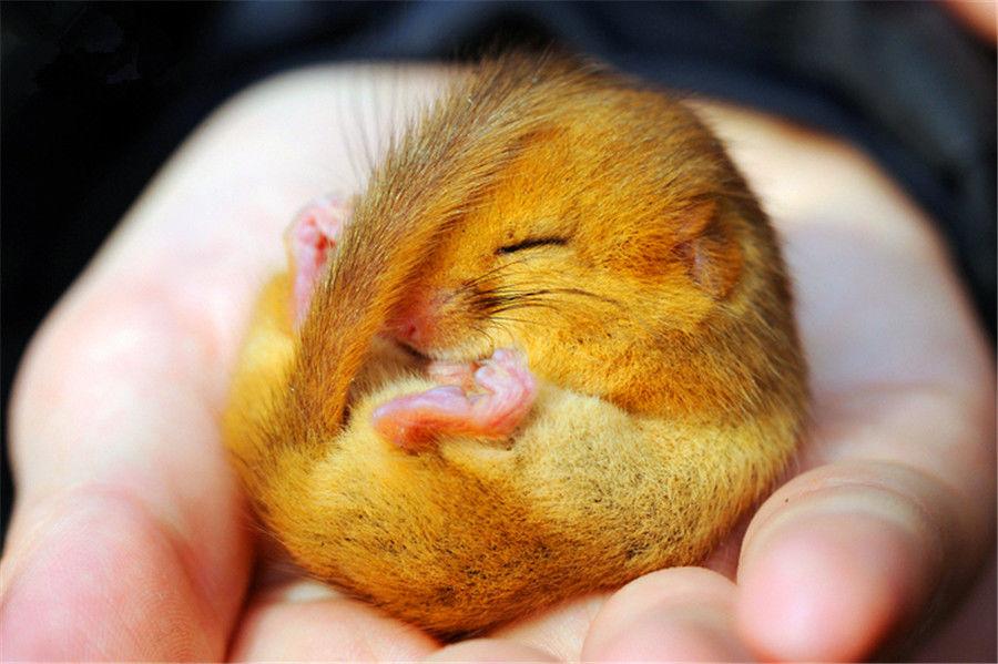 直击:世界上最懒的动物,为了睡觉饿死不起床