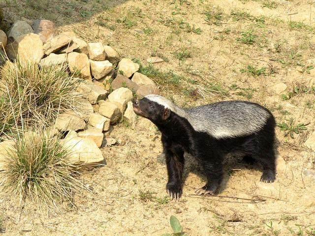 在动物界, 最应该感谢平头哥蜜獾的应该是猎豹