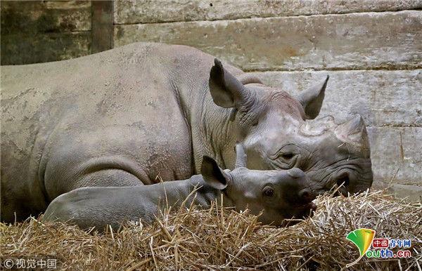 英国动物园两周大黑犀牛宝宝亮相 大耳朵超萌
