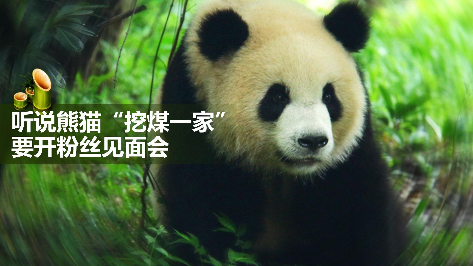 超萌可爱的熊猫来啦 直播熊猫的一家-北京时间