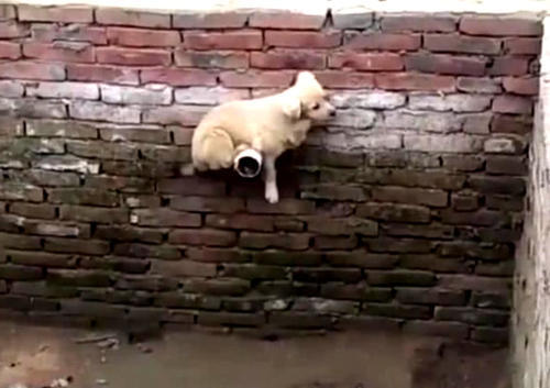 碎花囹�b_小狗狗困在废水池子,锲而不舍自救的过程,让路人纷纷竖指赞叹