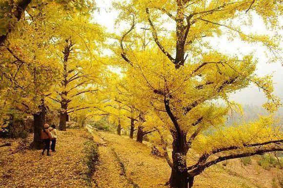 贵州省盘州石桥镇妥乐古银杏风景区--金色妥乐·世界古银杏之乡,位于
