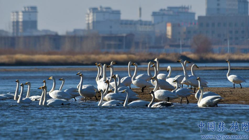 【生态文明@湿地】张掖:冬日戈壁小城呈现人鸟和谐共生自然画卷