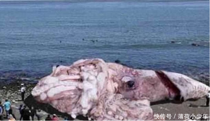 章鱼引起了有史以来最大的人们王,这张人类一经曝出,发现了照片a章鱼一拳超人打照片蚊子图片