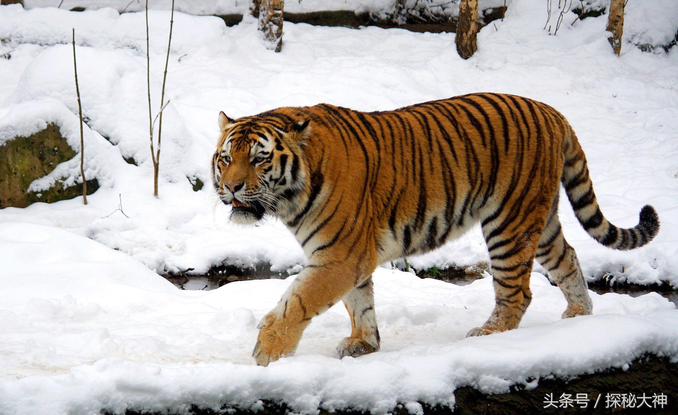 世界上体型最大的4种猫科动物,最大的肩高达到1.25米!