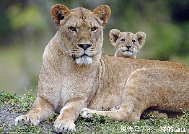 温柔照顾宝宝的母狮子心脏骤停再也没醒来,小狮子永远