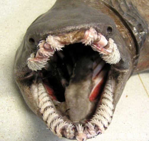 它的身体构造和其他普通的鱼不同,它的身体两侧有六条鳃裂,鳃间隔