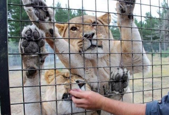 北京大兴野生动物园也有笼子车,让你在里边感触被动物分配的惊骇,是