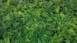 这种野草有4大功效,农村人却拿来当柴烧,真是可惜了