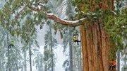 3200岁红杉树高74米,拥有大约2亿片树叶,世上仅此一颗!