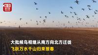 """现实版""""疯狂的小鸟""""中俄界湖万鸟迁徙报春来"""