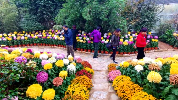 京津冀1.2万人次燕郊植物园秋日赏菊