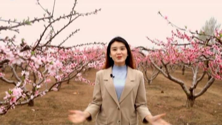 内黄:桃花依旧笑春风
