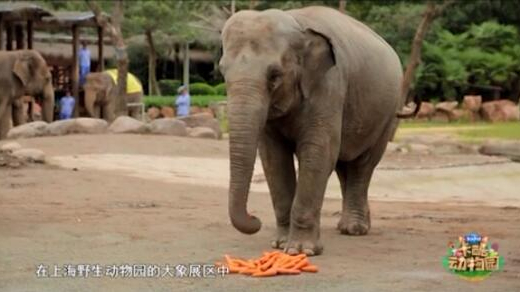 亚洲象阿莲:吃是我的头等大事