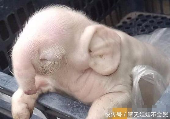 衰弱犊牛综合症:小伙深夜听见猪棚发出奇怪惨叫
