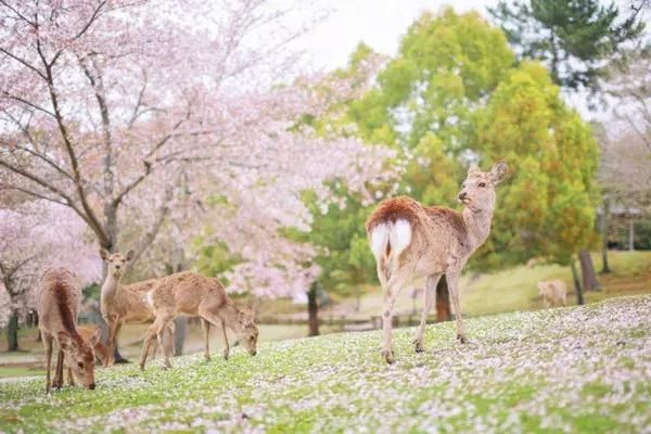 为何拖到最后没房才决定去日本看樱花?私藏6处小众花见地走起~